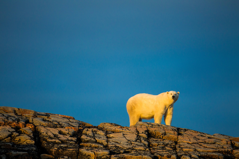 Canada, Nunavut Territory, Repulse Bay, Adult Male Polar Bear (Ursus maritimus) standing in summer sunshine on rocky outcrop atop Harbour Islands along Hudson Bay