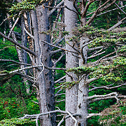 A forest of firs lines the coast of Second Beach in Olympic National Park, Washington.