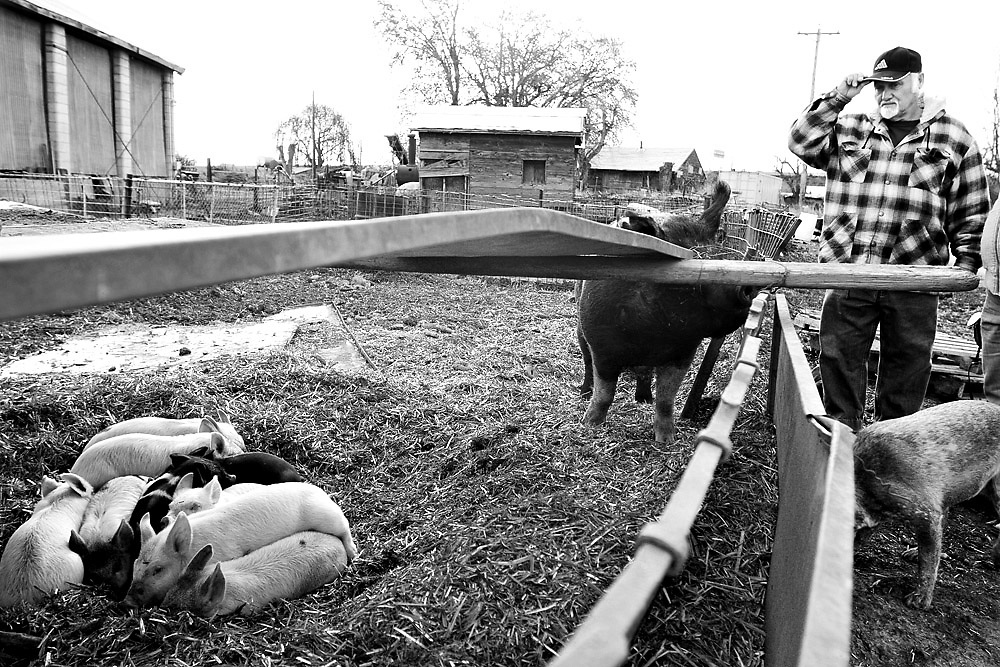 A sow checks out Mike Albertin of Finley as he checks out some of Lurene's piglets. He and his wife Carolyn were buying four for this year, preferring the darker ones because they don't sunburn as easily in the sunny Eastern Washington summer.