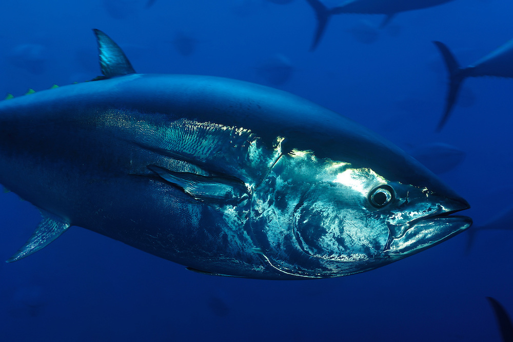 Atlantic Bluefin Tuna (Thunnus thynnus) Captive, Gozo, Maltese Islands