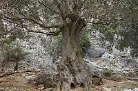 Olive Tree (Olea europea), Imbros, Crete
