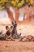 """This wild dog was looking up at a vulture that landed in a branch above. *50% off all proceeds of photos of wild dogs will go to the Painted Dog Conservation project in Zimbabwe (wild dogs are also called painted dogs). For more information, click on """"50% Charity Pledge"""" on the homepage, and thanks for supporting wild dogs!"""