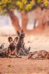 "This wild dog was looking up at a vulture that landed in a branch above. *50% off all proceeds of photos of wild dogs will go to the Painted Dog Conservation project in Zimbabwe (wild dogs are also called painted dogs). For more information, click on ""50% Charity Pledge"" on the homepage, and thanks for supporting wild dogs!"