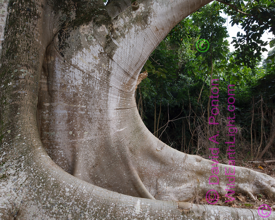 Base of large ficus tree exhibits elegant form, Oahu, Hawaii, © 2010 David A. Ponton