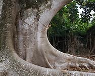 Base of large ficus tree exhibits elegant form, Oahu, Hawaii, © 2010 David A. Ponton