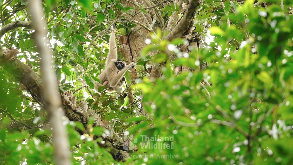 Pileated Gibbon (Hylobates pileatus) adult female with young in Khao Yai national park, Thailand
