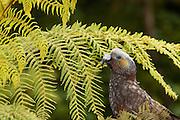Kaka, Stewart Island, New Zealand