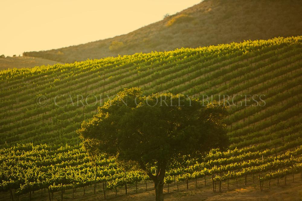 vineyard sunset in santa maria, california. Santa Maria vineyard at sunset. North Canyon Vineyard.