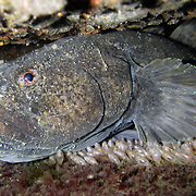 This is a female dark sleeper (Odontobutis obscura), a species of freshwater sleeper perch, protecting her brood of eggs. The developing embryos are close to hatching, as the eyes are clearly visible. This fish's den was located in a tiny crevice in a small ditch by the side of a road.