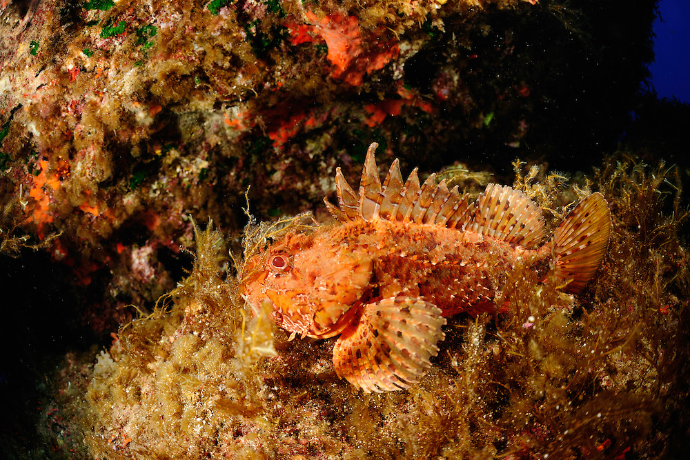 Scorpion Fish (Scorpaena scrofa), Gozo, Maltese Islands
