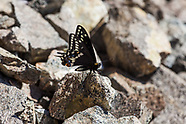 Papilio indra pergamus - Indra Swallowtail
