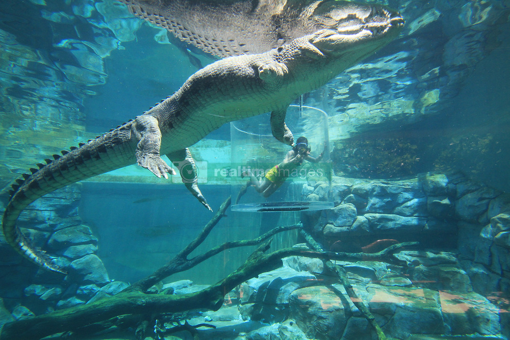 """Tourists now have the chance to take the ultimate holiday snap — by coming face-to-face with a killer crocodile. The Cage of Death attraction based at Crocosaurus Cove in Darwin, Australia, sees thrill seekers submerged into an aquatic enclosure with a 16ft saltwater beast called Chopper while sat inside a plastic cylindrical cage. The 30 minute encounter — which costs $170 AUD for one person and $260 AUD for two people — starts with up to two people per cage being hoisted over the water to see the croc swirling below. A keeper then feeds the reptile as the cage is lowered, so the participants can see the crocodile barreling towards them underwater. These photos show tourists posing up a storm while submerged in the tank as the croc swims around them. One frame in particular captures the ominous scratch marks all over the cage — proving tourists really are looking into the jaws of death. After 15 minutes underwater the cage, which operates via an overhead monorail, is lifted to safety. German tourist Nellie Winters told local media: """"I was scared but I was fascinated as well. I kept thinking he was going to eat me. You are right next to him and you sometimes forget that there are cages around you. 'You're that close that you think you could swim next to him and, yeah, he could also eat you, even though he won't."""" The Saltwater crocodile — the largest of its kind — can grow up to 20ft long with teeth as long as 4in. In the wild they are found across the north of Australia and are also native to India and other areas of south-east Asia. Crocosaurus Cove has a total of seven crocodiles, including a breeding pair called William and Kate, named after the Duke and Duchess of Cambridge. The Cage Of Death has been running since 2011 and other attractions at the park include visitors being given the opportunity to hold baby crocodiles. 08 Sep 2017 Pictured: Thrill-seeking tourists come face-to-face with a killer 16ft Saltwater crocodile at Crocosaurus Cove"""