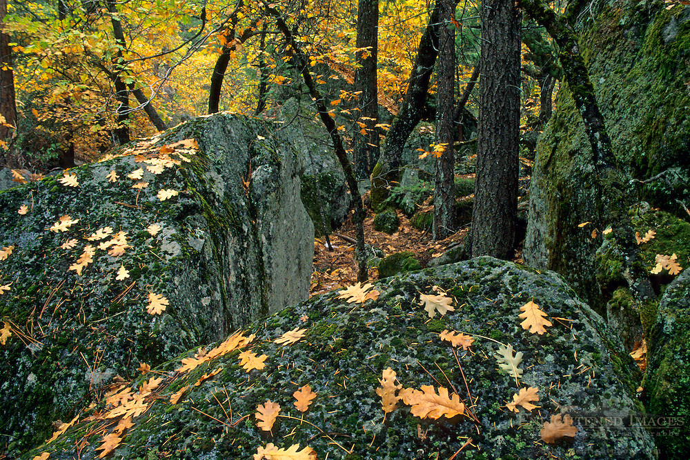 Oak leaves on moss covered rocks in fall, Yosemite Valley forest floor, Yosemite National Park, CALIFORNIA