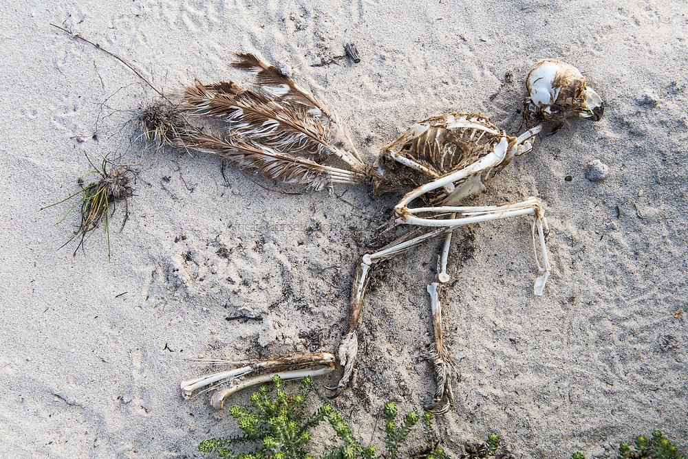 Spotted Eagle Owl Skeleton, Arniston, Western Cape, South Africa