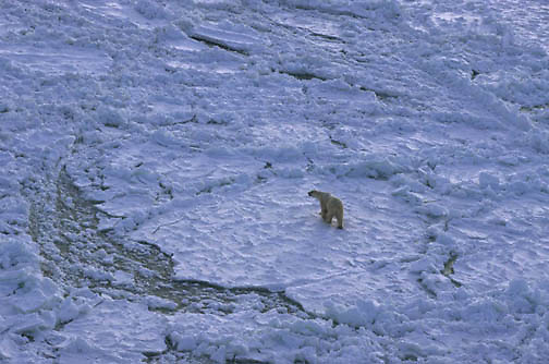Polar Bear, (Ursus maritimus) Aerial of bear. Churchill, Manitoba. Canada.