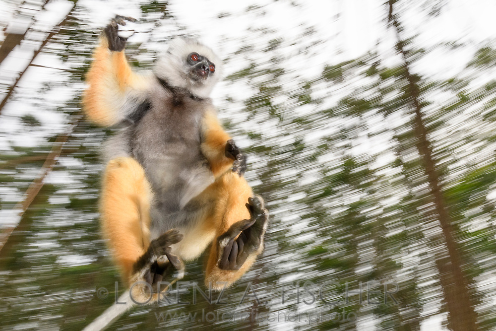 Diademsifaka (Propithecus diadema), Andasibe, Madagaskar<br /> <br /> A Diademed sifaka (Propithecus diadema) is jumping from on tree to another, Andasibe, Madagascar
