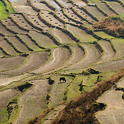 Terraced rice and wheat fields outside of Wangdue Phodrang, Punakha District, Bhutan