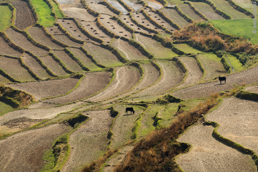 Terraced rice and wheat fields outside of Wangdue Phodrang, Punakha District, Bhutan