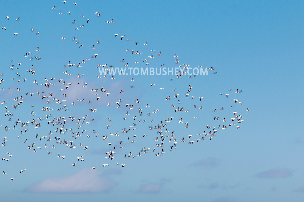 Westtown - Snow geese in a farm field on March 22, 2015.