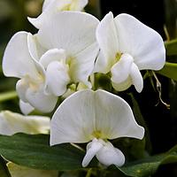 Perfume for pollinators: Sweet pea