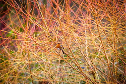 Robin sitting amongst the branches of Cornus sanguinea 'Midwinter Fire' in the Winter Garden at Dunham Massey