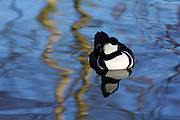 A sleeping male merganser at the London Wetland Centre, Barnes, London,