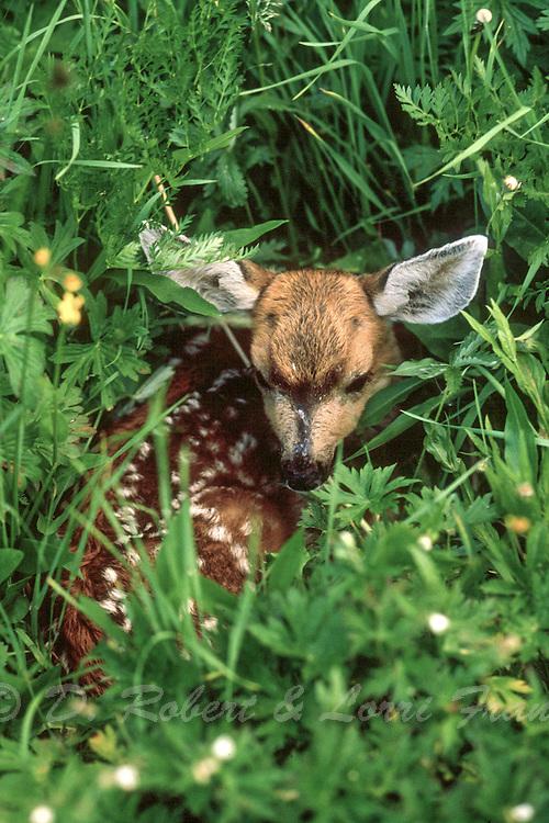 Mule deer newborn fawn (Odocoileus hemionus)