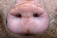 "Nose of a domestic pig (Sus scrofa domestica). The snout ends in the so-called routing disc which is formed of mucosa and is set with fine hairs and bristles for sensitive touch and feel. Simultaneously, the routing disc is a grave muscular and robust tool for finding food. Pigs are among the Makrosmatiker , i.e. their sense of smell plays an extremely important role. A pig has more olfactory cells in the snout than a dog in his nose. The finest odor particles from the air near the ground give the pig an ""olfactory image"" of the environment. To a depth of 50 centimeters they track down roots, truffles and other treats. Recent genetic studies show that more than 1300 genes in pigs are solely responsible for the operation of the various sensors fragrance, which explains why rely pigs in search of food so heavily on their sense of smell. Physiotherapy Daan Vermeulen, Borken, Germany. / Nase eines Hausschweins (Sus scrofa domestica). Der Ruessel endet in der sog. Ruesselscheibe, die aus Schleimhaut gebildet ist und mit feinen Borsten und Haaren fuer sensibles Tasten und Fuehlen ausgestattet ist. Gleichzeitig ist die Ruesselscheibe ein muskuloeses und robustes Grabwerkzeug fuer die Nahrungssuche. Schweine gehoeren zu den Makrosmatikern, d.h. ihr Geruchssinn spielt eine ausserordentlich grosse Rolle. Ein Schwein hat mehr Riechzellen im Ruessel als ein Hund in seiner Nase. Feinste Geruchspartikel aus der bodennahen Luft vermitteln dem Schwein ein ""Riechbild"" der Umgebung. Bis in eine Tiefe von 50 Zentimetern spueren sie Wurzeln, Trueffel und sonstige Leckereien auf. Neueste Gen-Forschungen belegen, dass bei Schweinen mehr als 1300 Gene allein fuer die Funktion der verschiedenen Duftsensoren zustaendig sind, was erklaert, warum sich Schweine bei der Nahrungssuche so stark auf ihren Geruchssinn verlassen. Physiotherapie Daan Vermeulen, Borken, Deutschland."