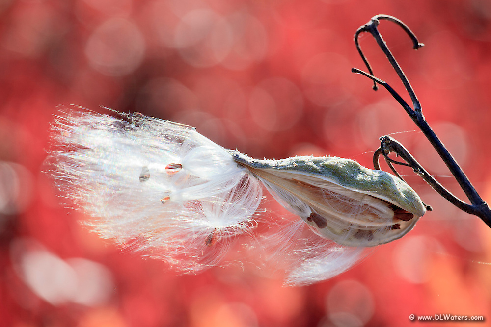 Milkweed seeds blowing in the wind against a red background of fall color.