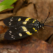 The Zygaenidae moths are a family of Lepidoptera. The majority of zygaenids are tropical. There are about 1000 species.