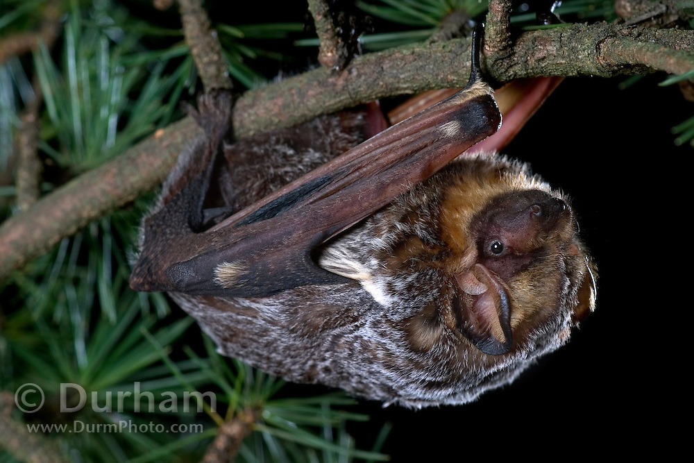 A hoary bat (Lasiurus cinereus) climbing through a douglas fir bough. The hoary bat will often day roost / night roost in the branches of trees in more exposed areas than is typical for most bats. Northern Oregon. © Michael Durham / www.DurmPhoto.com
