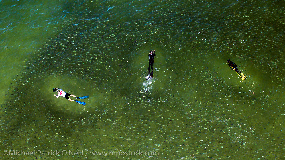 Aerial photograph of  snorkelers and a school of Silver Mullet, Mugil curema, as it migrates past the Palm Beach, Florida, United States coastline during their annual migration.