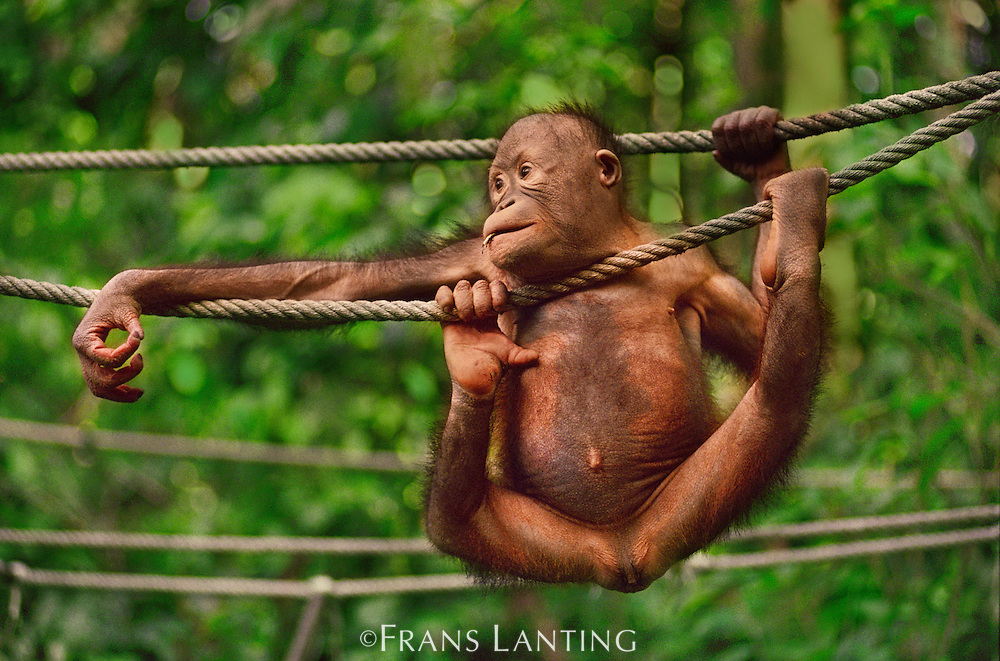 Bornean orangutan orphan climbing on ropes in rehabilitation center, Pongo pygmaeus, Sabah, Borneo