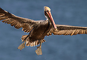 Brown Pelican coming in for a landing.