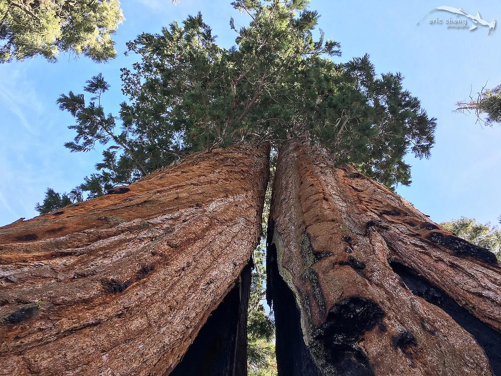 Twin sequoia trees. Sequoia National Park, California.