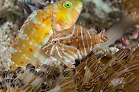 A Wrasse photobombs a Filefish portrait<br /> <br /> Shot in Indonesia
