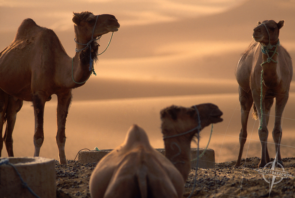 Camels resting in the desert.