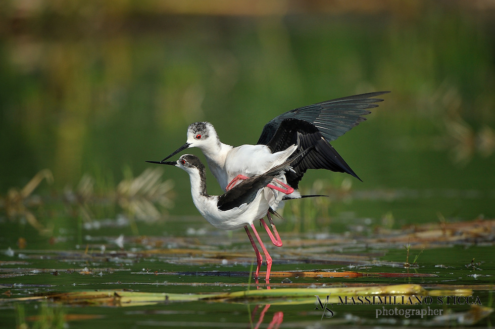 The Black-winged Stilt, Common Stilt, or Pied Stilt (Himantopus himantopus) is a widely distributed very long-legged wader in the avocet and stilt family (Recurvirostridae). Opinions differ as to whether the birds treated under the scientific name H. himantopus ought to be treated as a single species and if not, how many species to recognize. Adults are 33&ndash;36 cm long. They have long pink legs, a long thin black bill and are blackish above and white below, with a white head and neck with a varying amount of black. Males have a black back, often with greenish gloss. Females' backs have a brown hue, contrasting with the black remiges. In the populations that have the top of the head normally white at least in winter, females tend to have less black on head and neck all year round, while males often have much black, particularly in summer. This difference is not clear-cut, however, and males usually get all-white heads in winter.<br />