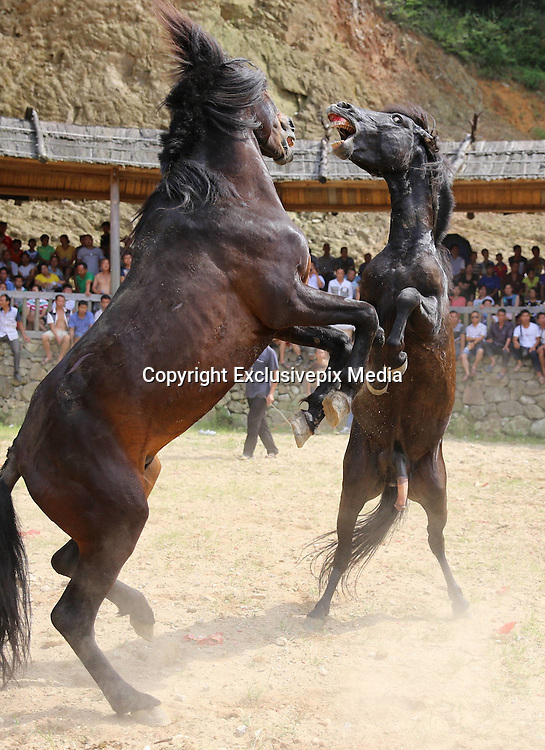 LIUZHOU, CHINA - JULY 11:<br /> <br /> Incredible photos show stallions kicking and biting one another before a crowd of gamblers in cruel Chinese festival<br /> <br />  A horse bites hoof of another horse in a horse competition during a Xinhe Festival in Peixiu Village of Antai Township in Rongshui Miao Autonomous County on July 11, 2016 in Liuzhou, Guangxi Zhuang Autonomous Region of China. Xinhe Festival is one of the most popular traditional festivals in Rongshui with various entertainment activities. <br /> ©Exclusivepix Media
