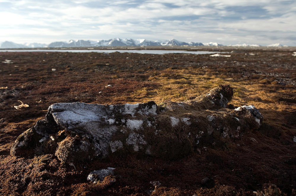 Whale bone<br /> Prins Karls Forland<br /> Svalbard <br /> Norway
