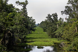 04 June 2015. Jean Lafitte National Historic Park, Louisiana.<br /> Waterways in and around the swamp at the Barataria Preserve wetlands south or New Orleans have become choked with thick weed following state budget cuts under Governor Jindal. The choked waterways impede flood control and deter valuable tourism related swamp tours, fishing and other recreational activities. <br /> Photo©; Charlie Varley/varleypix.com