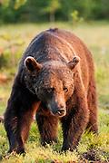 FINLAND, Kuhmo.Brown bear (Ursus arctos)