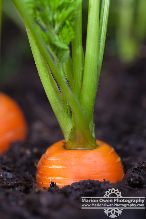 Ground-level view of carrots growing in a Kodiak, Alaska garden.