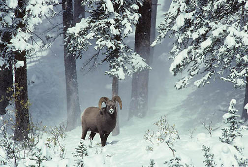 Bighorn Sheep, (Ovis canadensis) Ram in winter range of the Canadian Rockies.