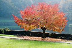 A tree full of fiery Red autumn leaves Crookes Valley Park Sheffield<br /> 21 October 2012<br /> Image © Paul David Drabble