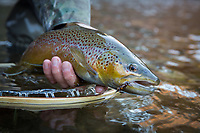 A healthy fly caught brown trout (salmo trutta), Dog River, Vermont, USA