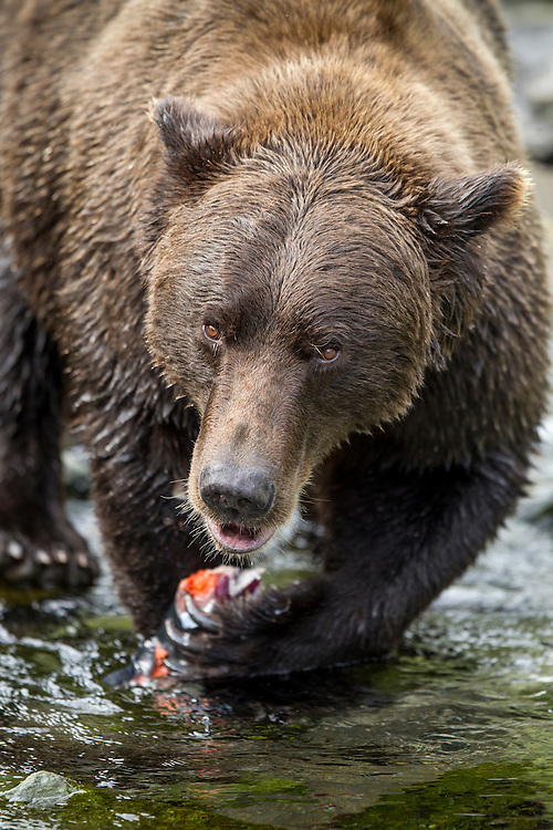 USA, Alaska, Katmai National Park, Coastal Brown Bear (Ursus arctos) feeding on salmon caught in spawning stream by Kuliak Bay