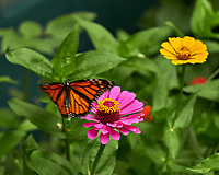 Monarch Butterfly leaving a Pink Zinnia Flower. Image taken with a Fuji X-H1 camera and 80 mm f/2.8 macro lens