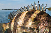 Sheepshead Stock Photos