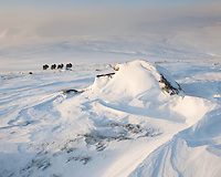 A gruop of fourl Musk Oxen, Ovibos moschatus, walking into the big landscapes of Dovrefjell NP, Norway.